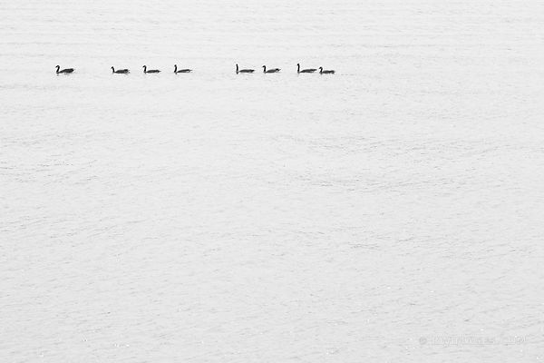 EIGHT GEESE ON WILLAMETTE RIVER PORTLAND OREGON BLACK AND WHITE