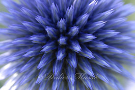 Portrait d'echinops Ennery Val d'Oise 07/09
