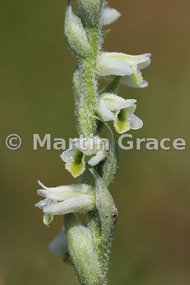 Autumn Lady's-Tresses (Spiranthes spiralis), September 10, Silverdale, Lancashire