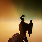 Darter with misty sunrise over water