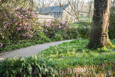 Path between Rhododendron 'Endsleigh Pink' and naturalized snakeshead fritillaries, Fritillaria meleagris, leading towards the easte terrace. Cotehele, Cornwall, UK