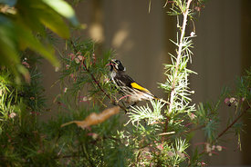 New Holland honeyeater feeding on nectar