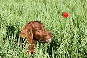 Irish setter in field with wild poppy