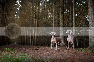 two weimaraners standing in tunnel of pine trees