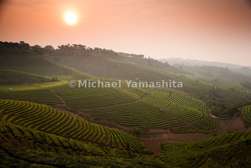 Terraces of tea unfold along the hillside of the largest tea plantation in Xishuangbanna, Yunnan Province, the number one producer of prized puer tea.