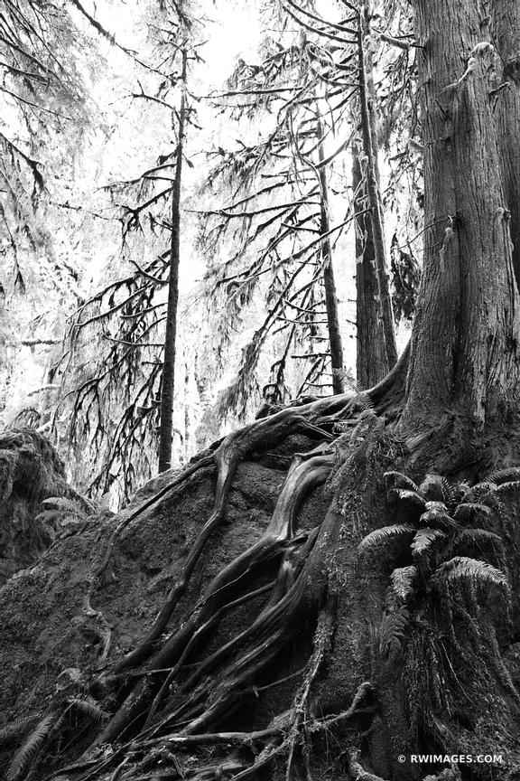 RAINFOREST MOSSY TREES MARYMERE FALLS TRAIL OLYMPIC NATIONAL PARK WASHINGTON BLACK AND WHITE