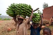 Boys carrying bunches of Bananas on their heads. Rwanda