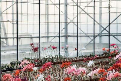 Fading, late afternoon sunlight illuminates the glasshouse containing the nursery's National Collection of Nerine sarniensis. Newchurch Nerines, Springbank Nursery, Sandown, Isle of Wight, UK