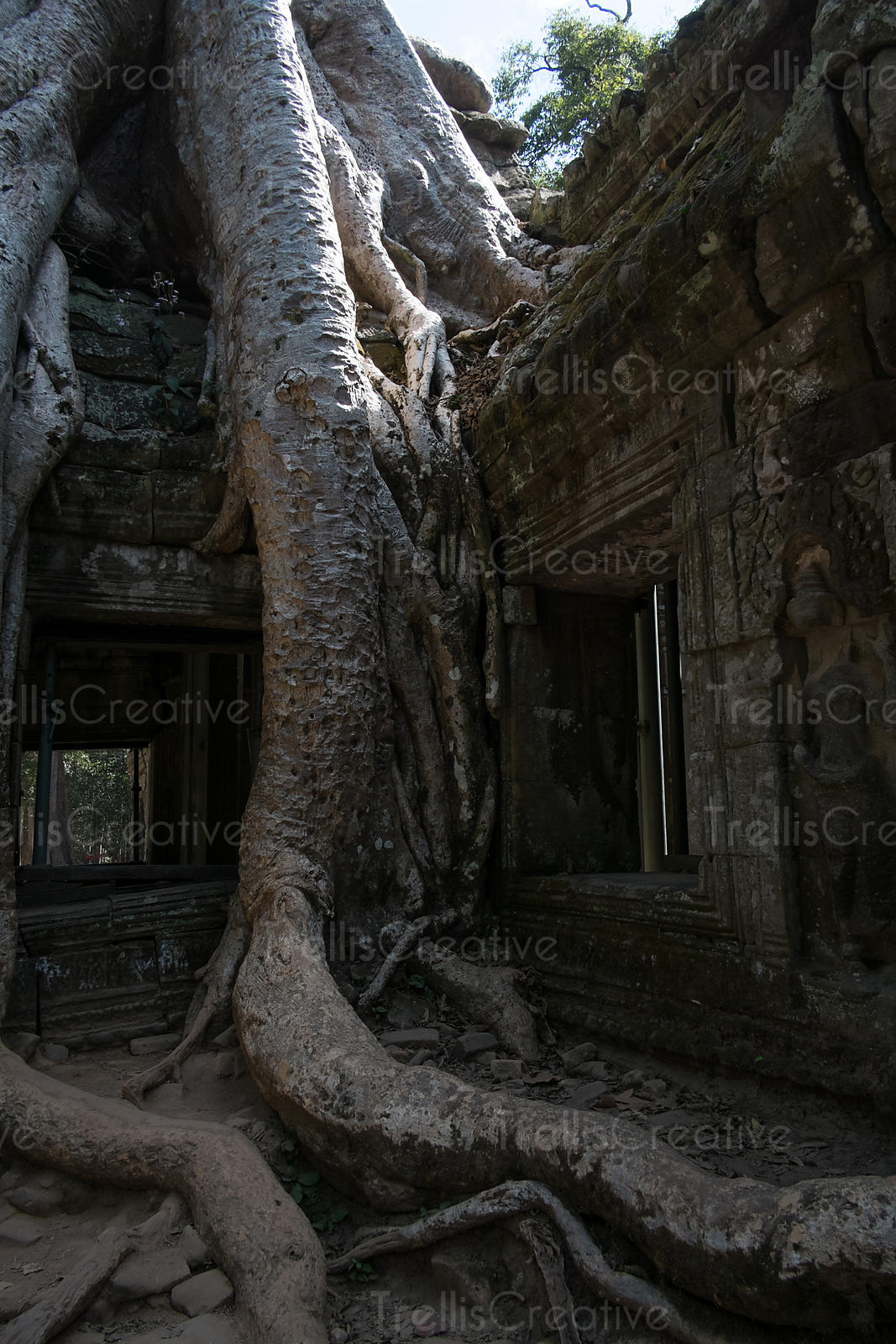 Strangler Fig tree roots engulf the temples of Ta Prohm in Angkor Wat