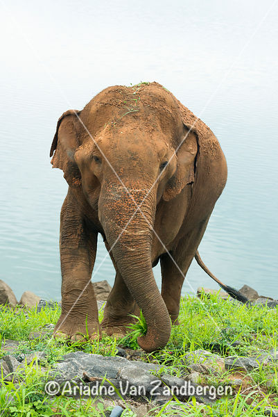 Asian elephant, Elephas maximus, in front of Udawalawe Reservoir, Udawalawe National Park, Sri Lanka