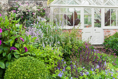 The Walled Garden planted with purples, pinks and blues including Geranium Rozanne = 'Gerwat', Salvia nemerosa 'Caradonna', galegas, dahlias and clipped box with Victorian conservatory behind. Bosvigo, Truro, Cornwall, UK
