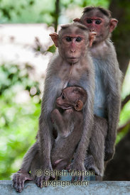 Bonnet Macaque family, Chinnar Wildlife Sanctuary, Idukki, Kerala, INDIA