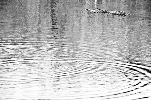 ALLIGATOR EVERGLADES FLORIDA BLACK AND WHITE