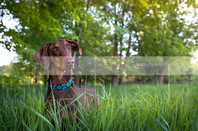 portrait of curious red and tan dog staring in natural grasses