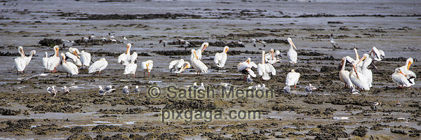 American White Pelican Colony, Don Edwards Wildlife Refuge, Alviso, CA, USA