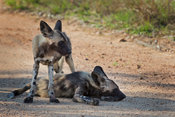 Two African Wild Dog pups