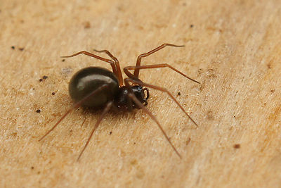 Linyphiidae species - Hangmatspin onbekend photos