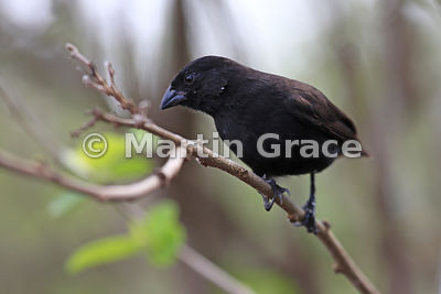 Large Tree Finch male (Camarhynchus psittacula), Santa Cruz, Galapagos