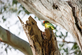 Musk Lorikeet at it's nest