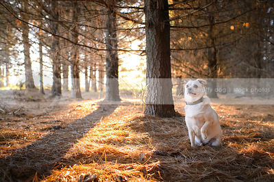 small blond dog pointing in backlit pine forest