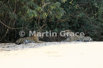 After mating, female Jaguar (Panthera onca) 'Hunter' and male Jaguar 'Hero' rest, facing each other, Three Brothers River, Northern Pantanal, Mato Grosso, Brazil. Image 15 of 62; elapsed time 13mins