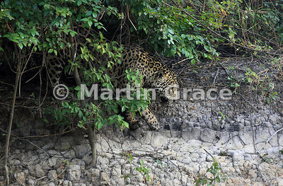 Male Jaguar (Panthera onca) known as Marley emerges from riverbank vegetation, River Cuiabá, Northern Pantanal, Mato Grosso, Brazil