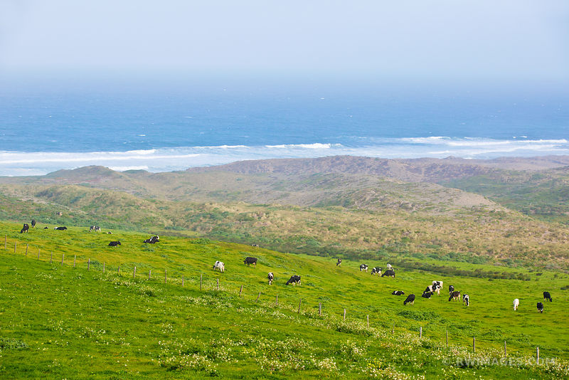 COASTAL GRASSLAND PASTURE POINT REYES NATIONAL SEASHORE CALIFORNIA