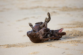 Happy Chocolate Lab Rolling on Back in Sand