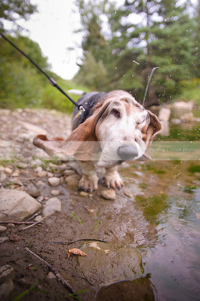 humorous old jowly dog spraying shaking water on riverbank