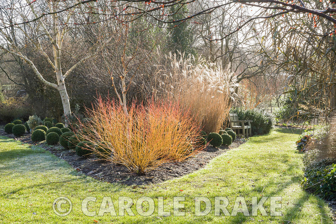 Cornus sanguinea 'Midwinter Fire' with clipped box balls, white stemmed birch and miscanthus. Sir Harold Hillier Gardens, Ampfield, Romsey, Hants, UK