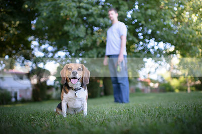 tricolor beagle dog  sitting on lawn with owner behind
