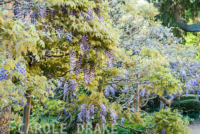 Line of wisteria in front of the house. Iford Manor, Bradford-on-Avon, Wiltshire
