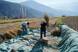 People working at rice fields near the Chime Lhakhang Monastery or temple, in Punakha District, Bhutan.