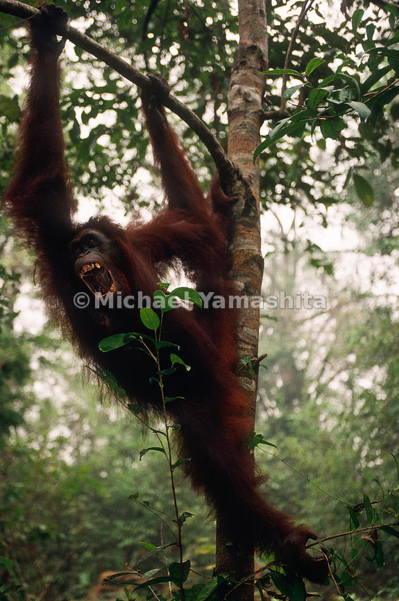 Orangutans spend most of their days feeding, resting and traveling which usually takes place in trees.