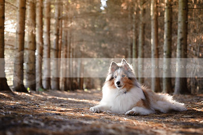 cute senior sheltie lying on pine forest trail