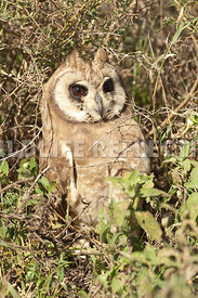african_marsh_owl_brushy_hideout_8