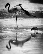 5345-Bird-Flamingo_Laurent_Baheux