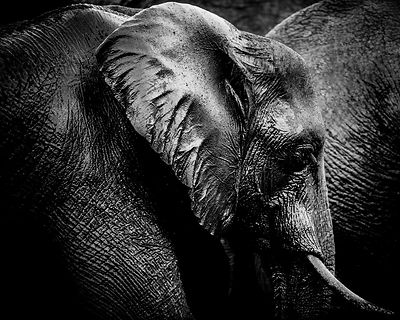 7872-Portrait_of_an_elephant_South_Africa_2008_Laurent_Baheux