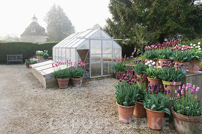 Pots of purple, red, pink and white tulips in the gardeners' yard. Rousham House, Bicester, Oxon, UK