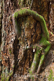Western Hemlock Roots along Tree Trunk in Olympic National Park