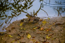 Leopard Frog in the Rain