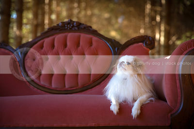 white and red longhaired dog lying on settee in pines