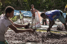 "Workers spread ""red vanilla"" (vanilla which has been treated by a special cooking) in the sun to be dried on May 25, 2016 in the Municipality Bemalamatra, 30 kms from Sambava, Madagascar. According to an interministerial decree, the collecting of the ""green vanilla"" (Raw vanilla) must begin on the 20th of June 2016. All collecting of vanilla before this date is considered as illegal. Many producers don't respect this decree and can sell illegaly this raw vanilla about 70 000 Ariary (20 USD) per kilogram. The buyers speculate on this vanilla and can resell it between 300 000 and 600 000 Ariary (93 and 186 USD) to big exporters. The sweet flavours of vanilla are taking on a bitter edge for buyers in Madagascar as prices have almost quadrupled but quality has declined, with experts blaming speculation, money laundering and a poor harvest. Madagascar, producer of 80 percent of the world's vanilla, has seen the spice's price jump from about $60 per kilogramme (2.2 pounds) in 2014 to as much as $220 now. In some local supermarkets, vanilla -- used in everything from ice cream to cakes -- has become so expensive that the pods have been removed from the spice aisle and placed close to the cash registers to deter thieves."