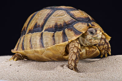 Egyptian tortoise (Testudo kleinmanni) photos