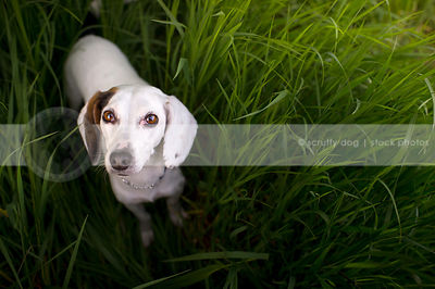 alert small white cross breed dog looking upward from grasses