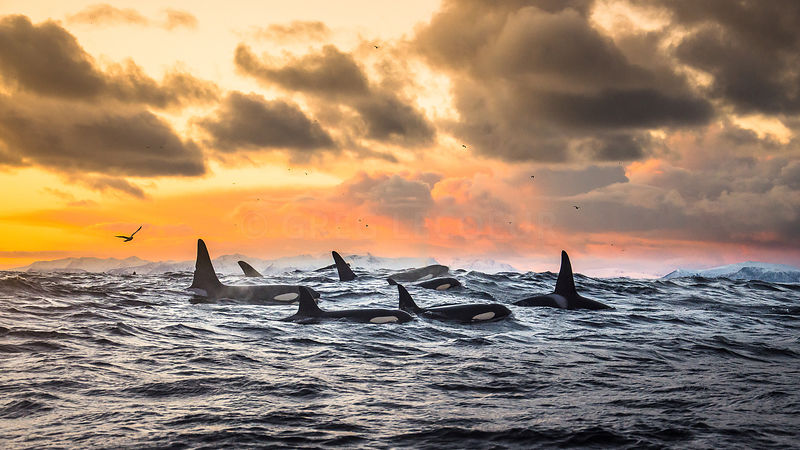 In a fjord of Andenes,  Orcas migrate south along the Norway Sea to hunt hearings that come in the deep fjords to have rest before mating season.