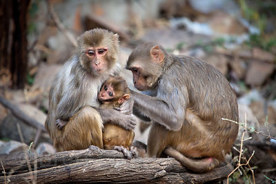 Rhesus Macaque (Macaca mulatta) monkeys at the Galta Monkey Temple, Jaipur, Rajasthan, India