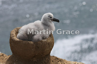 Black-Browed Albatross (Thalassarche melanophrys) chick in the nest, The Rookery, Saunders Island
