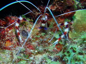 Banded_shrimp