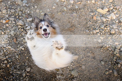 fun sheltie dancing on two legs waving at camera
